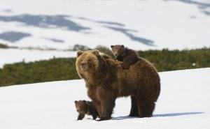В горах Сочи на прогулку вышла медведица с потомством