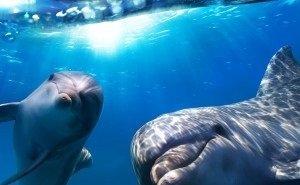 В Сочи научат спасать дельфинов