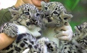 В сочинском Центре восстановления леопарда на Кавказе — пополнение