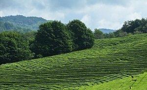 В ЗСК призывают сохранить марку «Краснодарский чай»