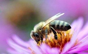 Почему на Кубани гибнут пчёлы?