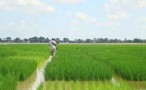Кубанских рисоводов не устраивают поправки в закон о плодородии