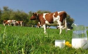 На Кубани растут объёмы производства молока