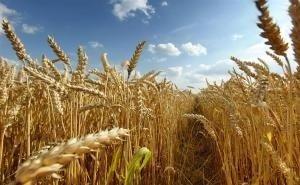 Несмотря на плохие погодные условия, на Кубани собран рекордный урожай зерновых
