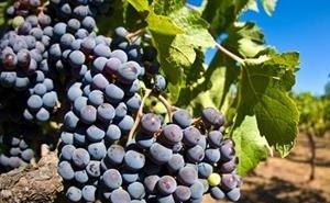 На Кубани начался сбор винограда столовых сортов