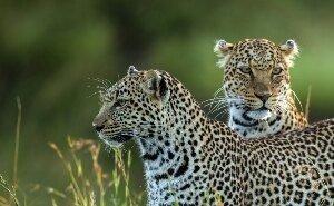 Сочинские леопарды улетели на вертолёте в Северную Осетию