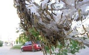 Гусеницы американской белой бабочки уничтожают Сочи