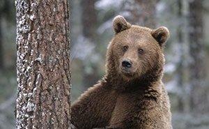 Для защиты от медведей сочинцам рекомендуют ставить электрозаборы