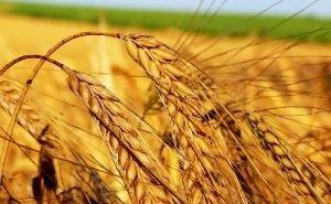 Эксперты: Кубань, выйдя на рекордную урожайность зерна, остаётся отсталой