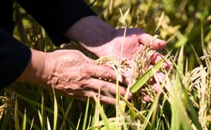 Объём господдержки кубанских рисоводов вырос на 30%