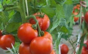 Кубань сдаёт по 900 тыс. тонн овощей в год