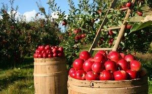 На Кубани займутся закладкой яблоневых садов суперинтенсивного типа