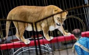 В Краснодарском крае в цирке на маленькую девочку напала львица