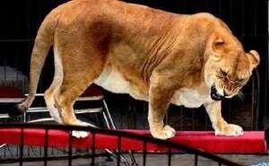 Родители 4-летней девочки, на которую напала львица, требуют от цирка 5 млн рублей