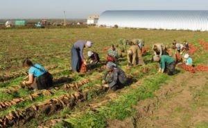 Кубанские фермеры, использующие труд нелегальных мигрантов, будут лишены господдержки