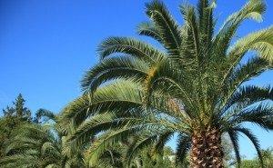 В Сочи начали вырубку пальм, зараженных вредителем