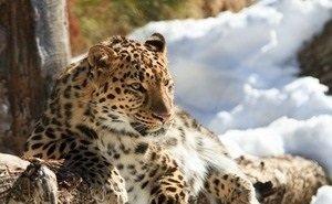 В Сочи в следующий раз на волю выпустят леопардов года через два