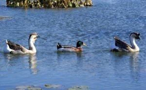 В Сочи пересчитали водоплавающих птиц