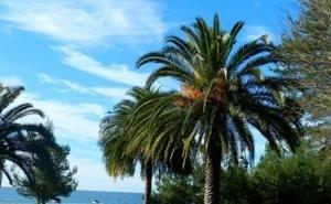Сочинским пальмам угрожает новый вредитель