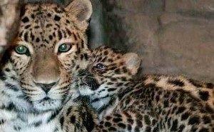 За жизнью леопардов в Сочинском нацпарке смогут понаблюдать все желающие
