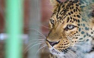 Сочинских леопардов готовят к выпуску в дикую природу