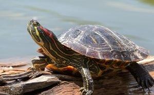 Завезённая из Америки черепаха уничтожает в Сочи краснокнижных своих сородичей