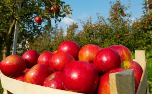 Кубанские яблоки стали брендом