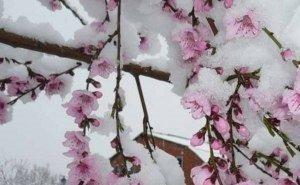 Кубань из-за заморозков может остаться без абрикосов и слив