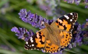 В Сочи наблюдается массовая миграция бабочек из Северной Африки