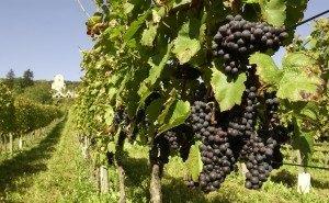 Кубанцам выделяют 100 млн рублей на виноградные питомники