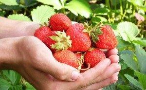 На Кубани собран рекордный урожай клубники