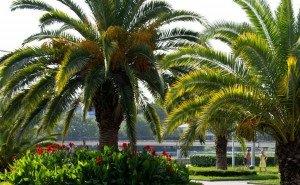 В Сочи делают прививки пальмам