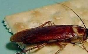 В Сочи завезли гигантских летающих тараканов