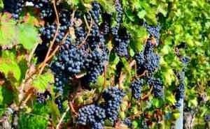 На Кубани начался сбор винограда