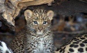 За сочинскими леопардами можно будет наблюдать онлайн