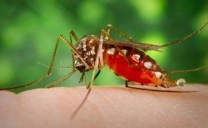 На Кубани стало больше комаров
