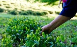 Сбор зелёного чая на Кубани упал на 40%