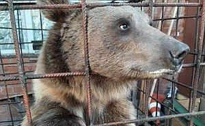 Медведя, живущего в Краснодаре во дворе многоэтажки, пообещали пристроить власти