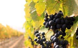 Новый закон поможет Кубани сохранить виноградники