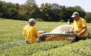 На Кубани в 2020 году восстановят 85 га чайных плантаций