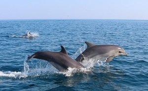 За вылов дельфинов на Кубани осуждена банда браконьеров
