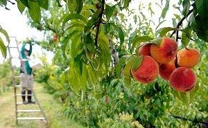 В 2020 году на Кубани планируют заложить 1,5 тысяч га молодых садов