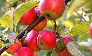 На Кубани опасаются неурожая вишни и яблок