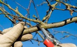 Обрезку деревьев в Краснодаре доверят специалистам