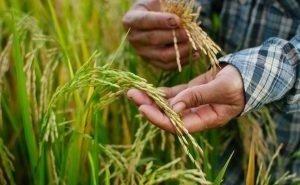 Урезание субсидий рисоводам может заставить их выращивать что-то другое