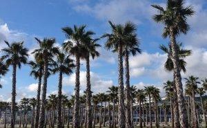 Если в Сочи не найдут способ спасения пальм, они погибнут