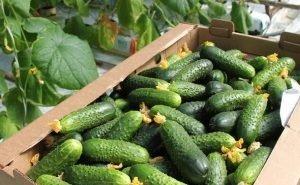 Власти Кубани помогут фермерам со сбытом продукции