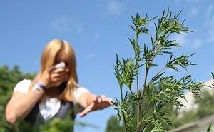 Поможет ли кубанским аллергикам амброзиевый листоед?