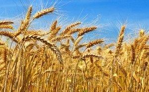 Объём экспорта кубанской пшеницы будет пересмотрен