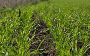 Состояние большинства посевов на Кубани оценивается как удовлетворительное